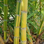 phyllostachys-edulis-nabeshimana