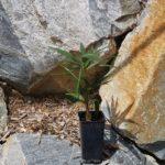 trachycarpus-fortuneixnanus-1l