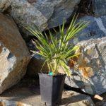 trachycarpus-takil-4l