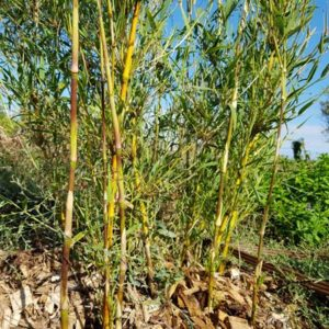 Bambous non-traçants
