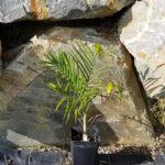 chamaeodora-radicalis-arborescens