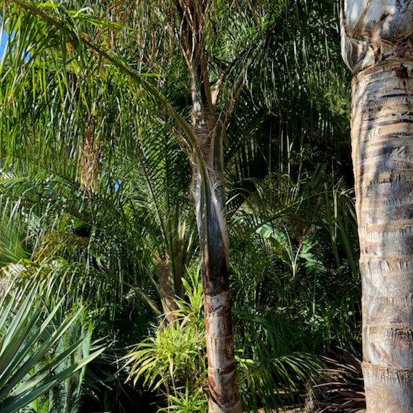 syabaea-syagrus-jubea-ninjacoconut