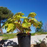 podophyllum-spottydotty